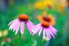 Blooming medicinal herb echinacea purpurea or coneflower Royalty Free Stock Photography