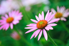 Blooming medicinal herb echinacea purpurea or coneflower Stock Photo