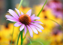 Blooming medicinal herb echinacea purpurea or coneflower Royalty Free Stock Images