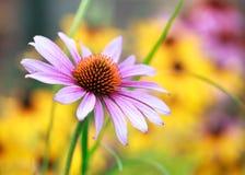 Blooming medicinal herb echinacea purpurea or coneflower. Close-up Royalty Free Stock Images