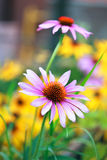Blooming medicinal herb echinacea purpurea or coneflower Stock Photography