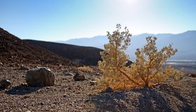 Blooming mesquite bush. On rocky ground, death valley, california Royalty Free Stock Photos