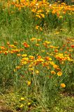 Blooming Mexican Gold Poppies in a garden in Florence Stock Images