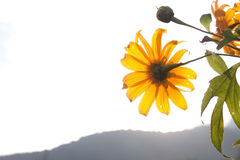 Blooming mexican sunflower. At dawn on mountain Royalty Free Stock Images