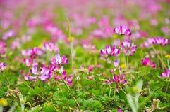 Blooming milk vetch flowers in spring Stock Image