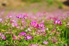 Blooming milk vetch flowers in spring Royalty Free Stock Image
