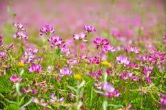 Blooming milk vetch flowers in spring Royalty Free Stock Photo