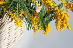 Blooming mimosa branch in a basket Stock Photography