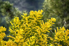 Blooming mimosa Royalty Free Stock Images