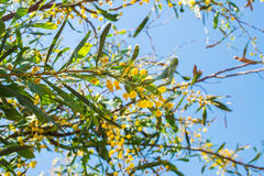Blooming mimosa tree branch over blue sky. Stock Photo