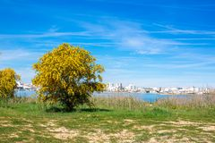Blooming mimosa tree on the green grass on the shore against the background of the river, overlooking the city Portimao, Portugal. Blooming mimosa tree on the royalty free stock images