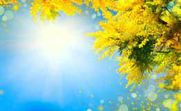 Blooming mimosa tree over blue sky royalty free stock image
