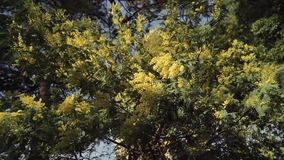 Blooming mimosa tree is strewn with the small fluffy yellow flowers stock video footage