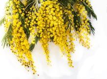 Blooming Mimoza Acacia dealbate Royalty Free Stock Photo