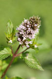 Blooming Mint. In the garden closeup Royalty Free Stock Photo