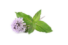 Blooming mint Stock Photo