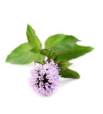 Blooming mint Royalty Free Stock Photos