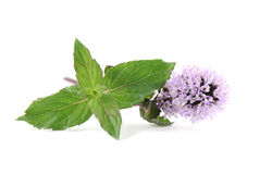 Blooming mint Royalty Free Stock Images