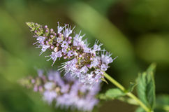 Blooming mint on the blur background. Royalty Free Stock Image