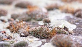 Blooming moss. Grey blooming moss on a stones Royalty Free Stock Images