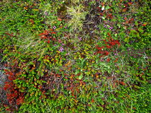 Blooming moss growing on lava stone. Blooming moss growing on lava and stone fields in Iceland at summer Stock Image