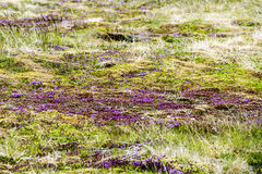 Blooming moss Iceland Royalty Free Stock Image