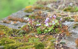 Blooming moss. Macro photo of green blooming moss on a stone Stock Images
