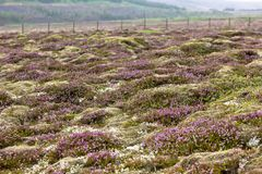 Blooming moss and small nordic trees growing on lava and stone f Stock Images