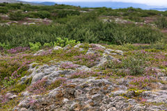Moss and Nordic Trees on Lava Fields in Iceland Royalty Free Stock Images