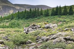 Blooming moss and small nordic trees growing on lava and stone f Royalty Free Stock Photo