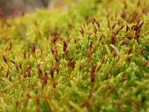 Blooming moss Stock Photography