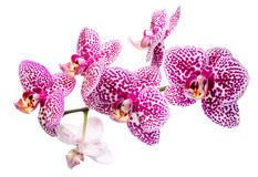 Blooming motley lilac orchid, phalaenosis isolated on white Stock Images