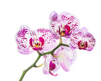 Blooming motley  orchid isolated Royalty Free Stock Image