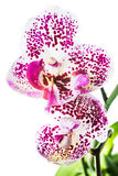 Blooming motley orchid,  isolated on white  background Stock Photos