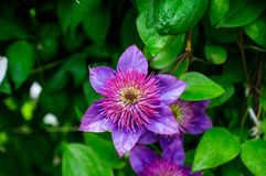 Free Blooming `Multi Blue` Clematis In The Garden Stock Photography - 102372172