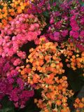 Blooming. Multicolored blooming mini flowers. Colors are orange, pink, purple Royalty Free Stock Photography