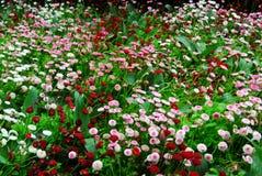 Blooming mum flowers in butchart gardens Royalty Free Stock Photos