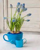 Blooming muscari in blue cup on the window Royalty Free Stock Photos