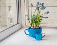 Blooming muscari in blue cup on the window Stock Photo