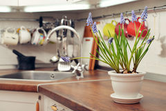 Blooming muscari in flower pot Royalty Free Stock Photo