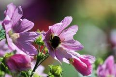 Blooming musk mallow Malva alcea and bumblebee in summer. Blooming musk mallow Malva alcea and bumblebee in summer Stock Images