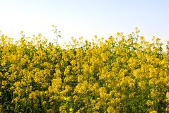 Blooming Mustard in California Royalty Free Stock Photo