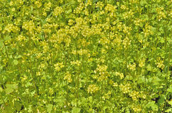 Blooming mustard Stock Photography
