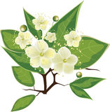 Blooming myrtle branch, vector illustration. Blooming myrtle branch, vector white flowers with green leaves stock illustration