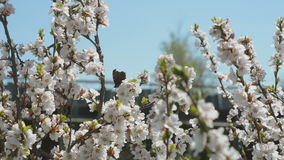 Blooming Nanking cherry in garden stock footage