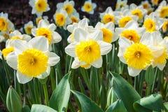 Blooming narcissus closeup Stock Photos