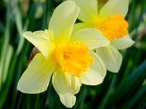 Blooming narcissus. Fantastically beautiful spring daffodils in bloom Stock Photography