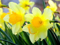 Blooming narcissus. Fantastically beautiful spring daffodils in bloom Royalty Free Stock Photography