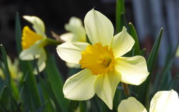 Blooming narcissus. Fantastically beautiful spring daffodils in bloom Stock Photo