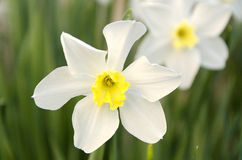 Blooming narcissus in the garden at springtime. Close up Royalty Free Stock Photography